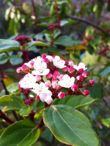 Viburnum Tinus with the first flower seen January 28th:some berries can still be seen behind flower.