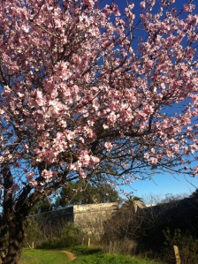 Almond blossoms around the fort; January in Cabanas de Tavira