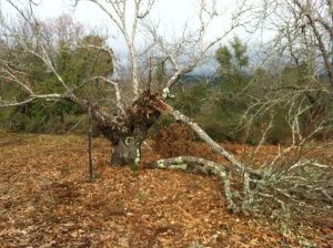 Many branches have fallen from these elderly chestnuts but new ones spring up too.