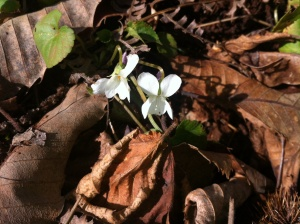 These tiny flowers were seen near the well in the very damp ground.