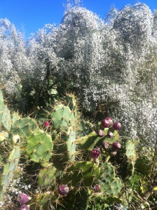 Prickly pears and white broom: lygos
