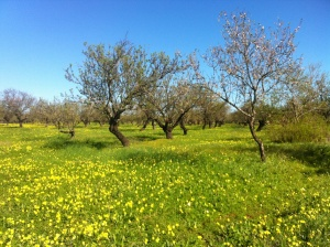 Bermuda buttercups in the almond orchards with egrets.