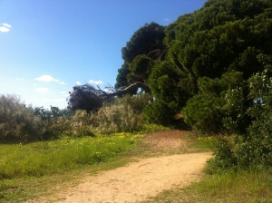 The big and beautiful old pines by the fort,. Hoopoes and goldfinches seen around them.