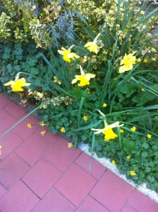 Daffodils and celandine on the path of the front garden in London.