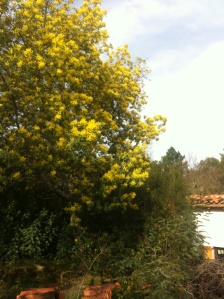 Mimosa in full bloom by the house