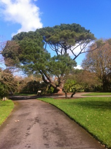 One of Kew's famous historic trees, the Stone Pine or Umbrella Pine which there are so many of in  parts of Southern Spain and Portugal. This one grew its different shape as it was kept potted for so long in the 1800s!
