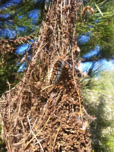 Pine processionary moth's caterpillar, hatched and ready to eat pine needles.