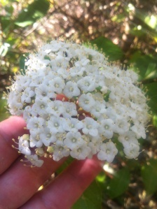 Viburnum Tinus now in full bloom.