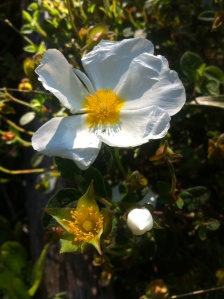 White cistus in flower, bud and stamens showing from previous day's flower all together on one branch.