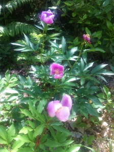 Part of peony forest in full bloom - April to May