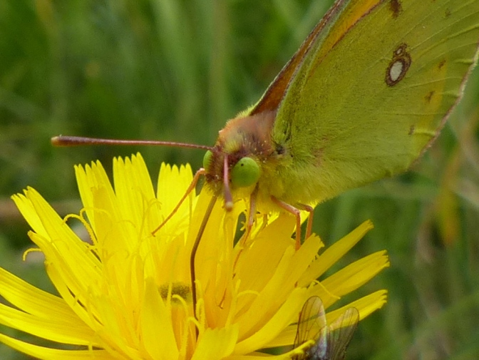 What's a Clouded Yellow?