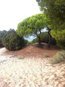 Umbrella pines on the sand dunes.