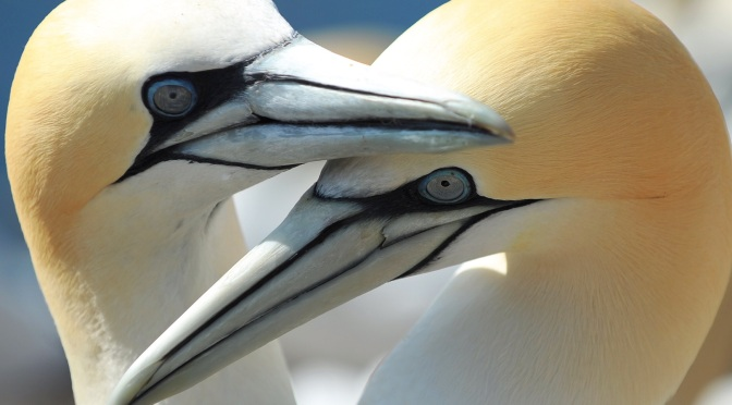 Gannets- a very British responsibility or a very Scottish responsibility. Over 50 % of gannets in the world use the British Isles and Ireland for their nesting colonies