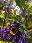 Red Admiral, MartinMere Wetlands Centre;