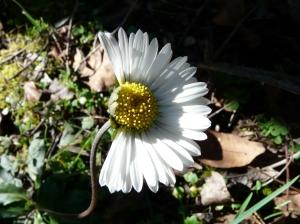 Half a daisy Jan 2015
