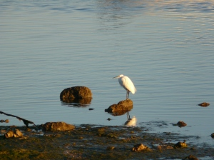Egret on the shore at Cabanas de Tavira, Algarve, Portugal.