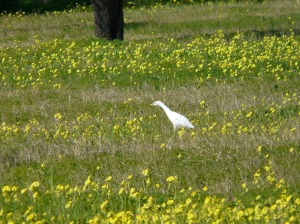 A kind of Egret in the almond orchards with Bermuda buttercups