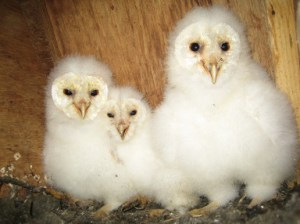 Barn%20Owl%20chicks%202007_jpg_opt516x386o0,0s516x386