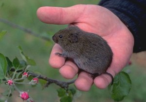 bee Vole_adult