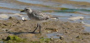 Grey plover in adult winter plumage. Pluvialis squatarola.