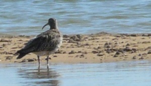 Another curlew on a sand bank