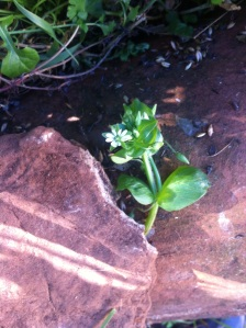 Common chickweed?