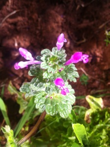 Hen bit dead nettle Lamium amplexicaule clasping close to stem leaves - 4 more varieties in Med book p. 1478