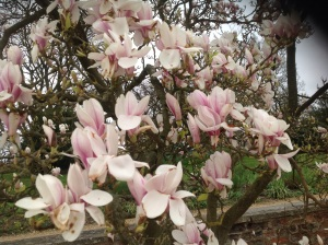 Magnolia time