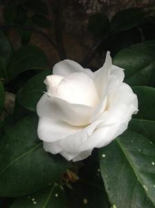 Camellia in Camellia conservatory