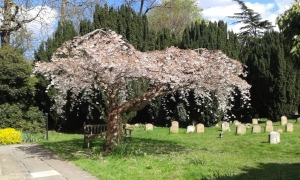 Cherry Tree in Brentford and isleworth's Quaker Meeting House Garden.