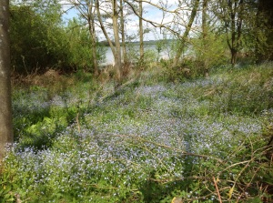 Forget me nots by shore of Rutland Water