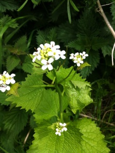 Jack in the Hedge, Garlic Mustard