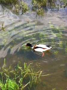 Shelduck  close to hide