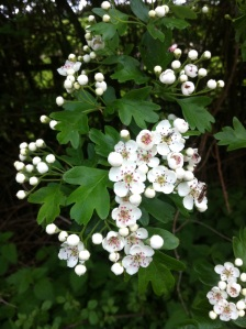 The May in May. Hawthorn blossom