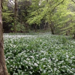 English woods in Spring, garlic mustard