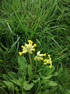Cowslips by Skidby Mill.