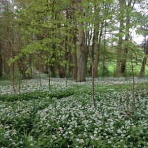 Wild garlic in the woods, Dalton