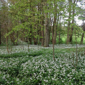 Wild garlic in the woods, Dalton