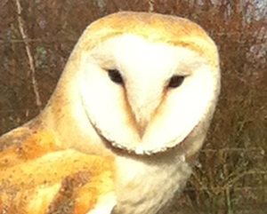 My own Barn Owl taken and on the screen of my iphone 2 years ago!