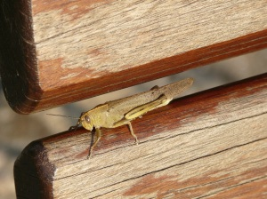 Grasshopper meditating or Tai Chi position .