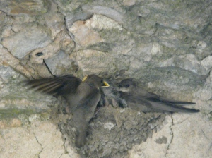Parent Crag Martin returning with food for hungry mouths.