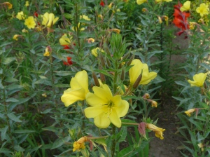 Evening Primrose in castle gardens
