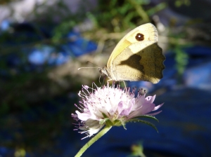 Blog B or wild flowers Scabious and Wall brown or meadow brownEnd of May 2015 Finca flowers 043