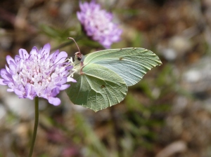 Large yellow white butterfly