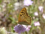 Fritillary on scabious on wild flower meadow