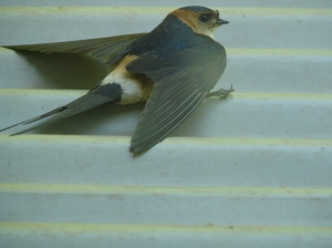 Red rump swallow recovering from being stunned and ready to fly off.