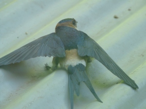 Red rump swallow on battery shed roof after flying into window chasing fly!