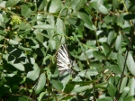 swallowtail at Navasola