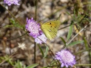 yellow butterfly on era