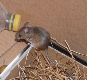 Woody Wood Mouse
